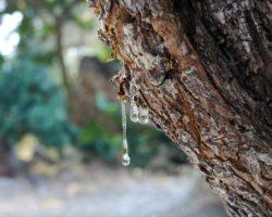 Αφιέρωμα ΝΥΤ στη μαστίχα Χίου: Μπορεί να θεραπεύσει την ανθρωπότητα;